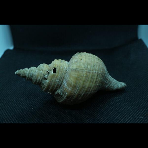 neptunea contraria fossil snail