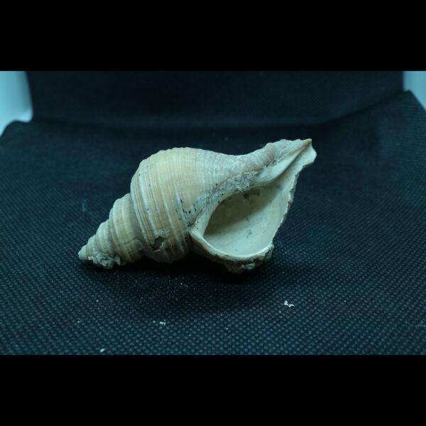 neptunea contraria fossil Buccinidae