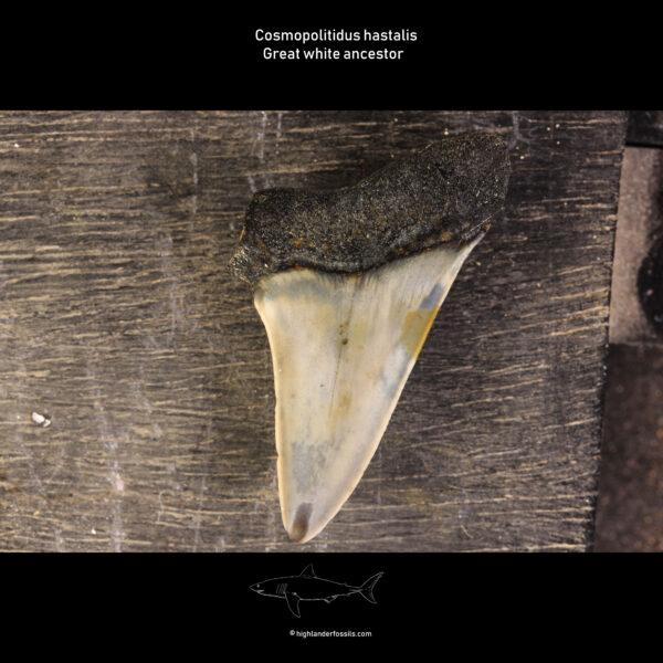shark teeth belgian hastalis