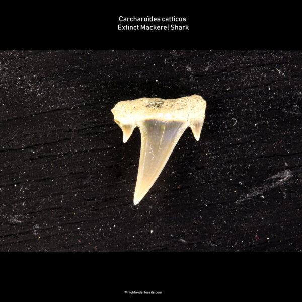 Belgian Carcharoïdes catticus for sale