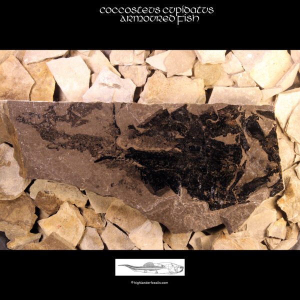 Buy Placoderm Fossil