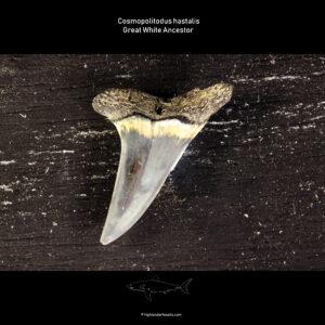 C. hastalis