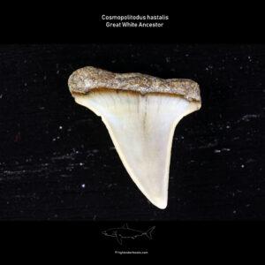 C. hastalis for sale