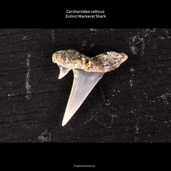 C. catticus