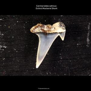 Carcharoïdes catticus