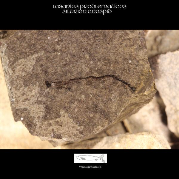 Fossil Anaspid lasanius
