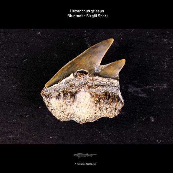 Hexanchus griseus