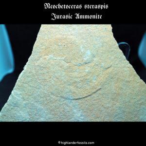 Jurassic ammonite Neochetoceras steraspis
