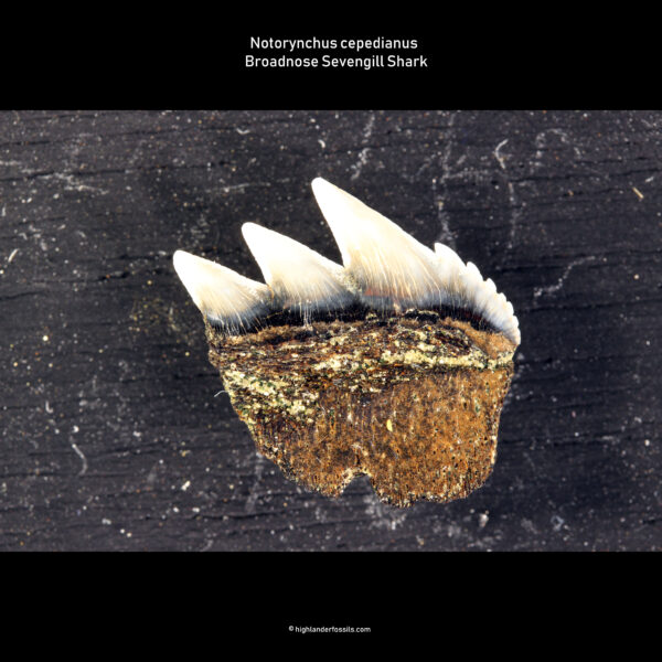 Notorynchus cepedianus for sale