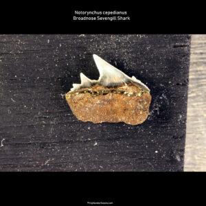 Notorynchus cepedianus shark teeth