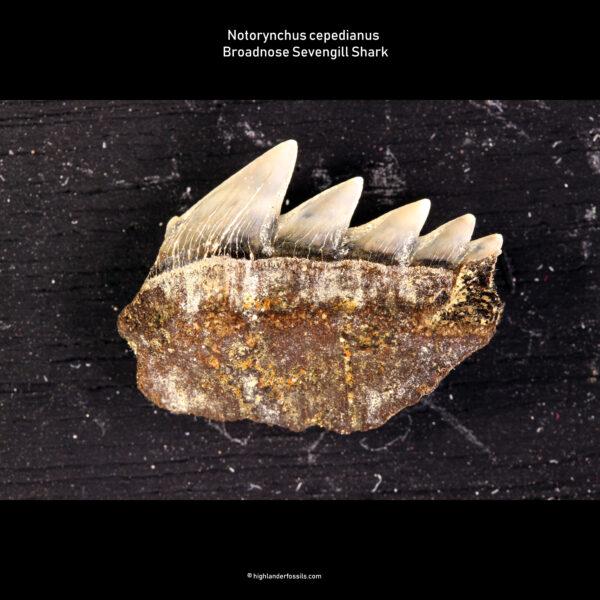 Notorynchus cepedianus shark tooth