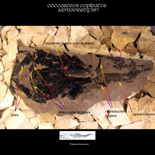 Placoderm Fossil for sale 2