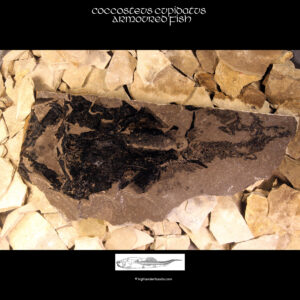 Placoderm Fossil for sale