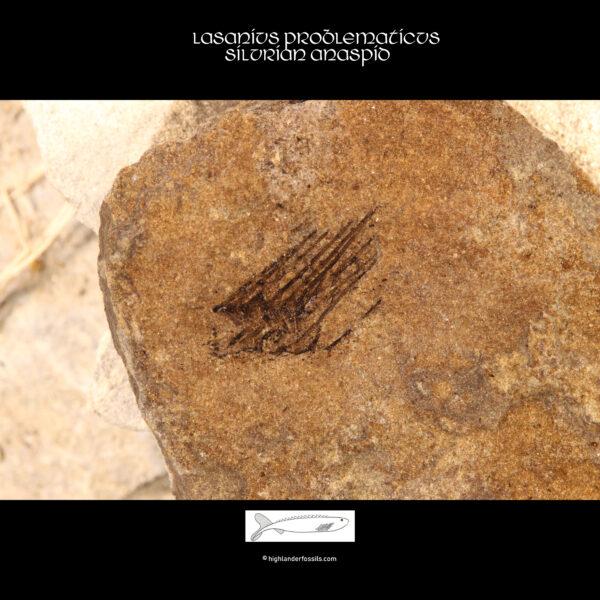 Post Cephalic rods lasanius problematicus