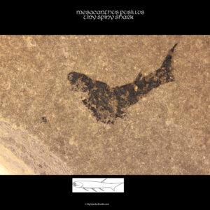 Scottish devonian acanthodian mesacanthus pusillus fossil
