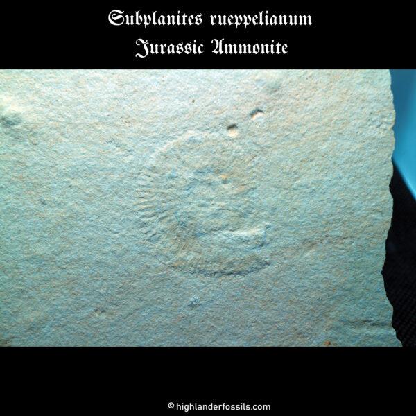 Subplanites rueppelianum