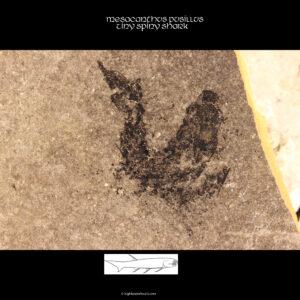 acanthodian mesacanthus pusillus