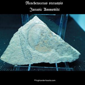 ammonite Neochetoceras steraspis