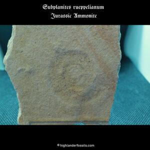 ammonite Subplanites rueppelianum