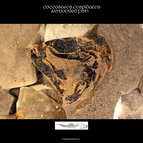 fossil present coccosteus 1