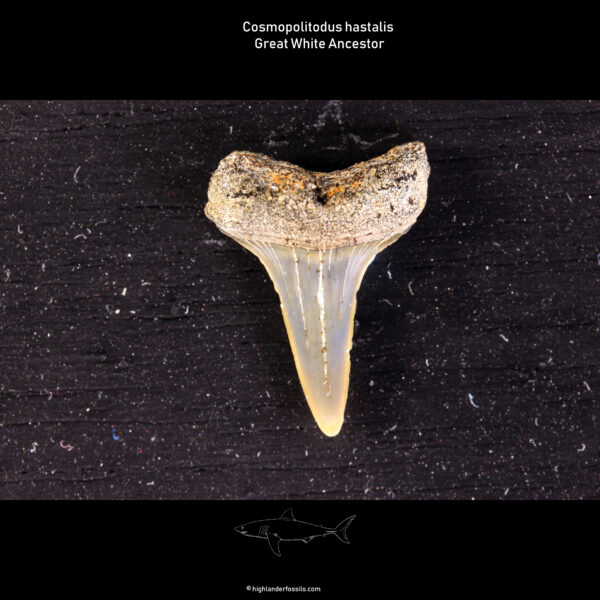 Hastalis teeth belgium shark