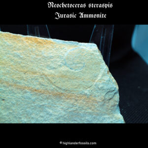 jurassic Neochetoceras steraspis