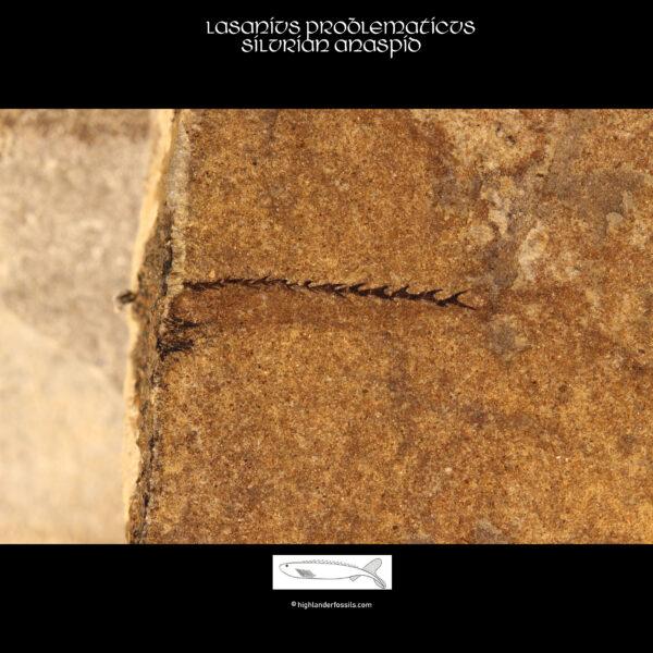 lasanius problematicus fossil for sale
