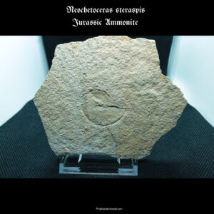 neochertoras steraspis jurassic ammonite
