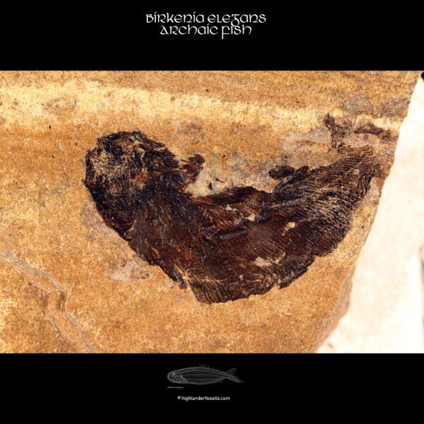 Birkenia elegans fossil