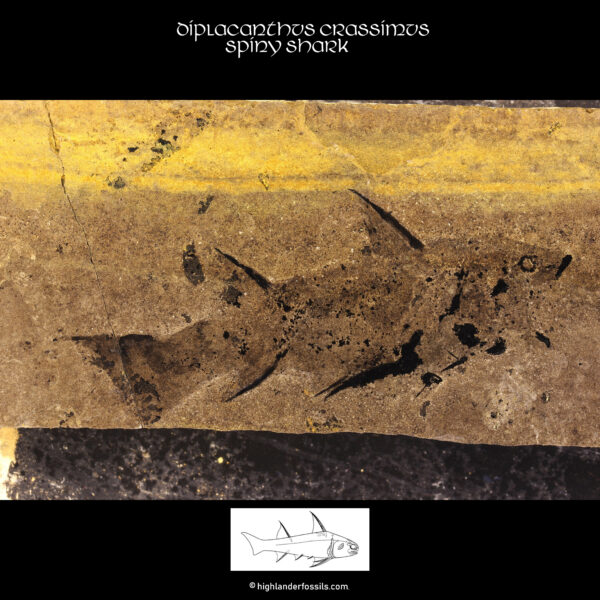 Diplacanthus-crassisimus-acanthodian-spiny-shark 2