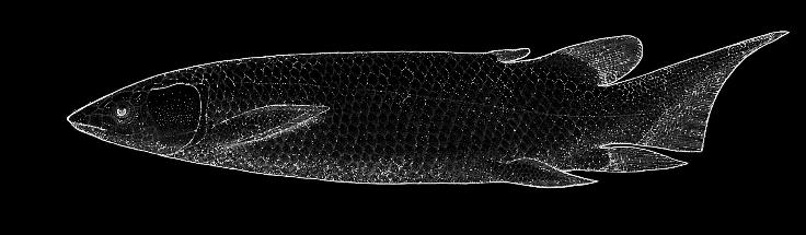 Dipterus fossil