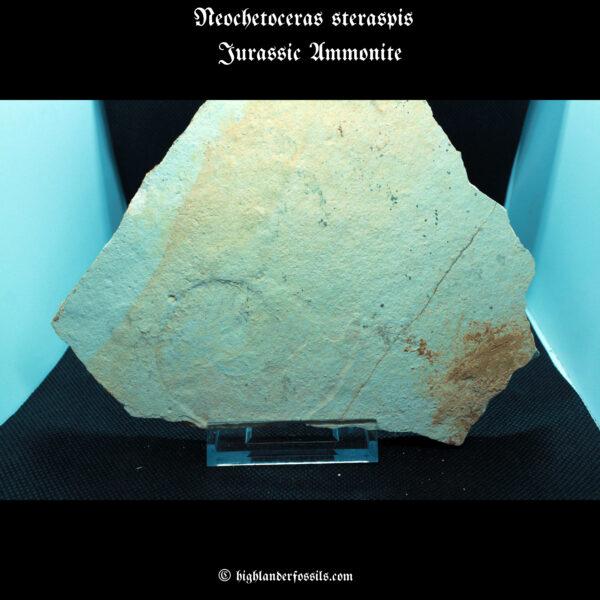 Neochetoceras steraspis