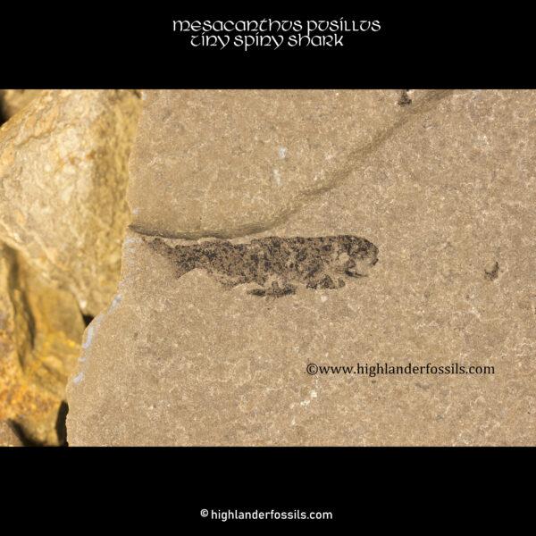 Scottish mesacanthus