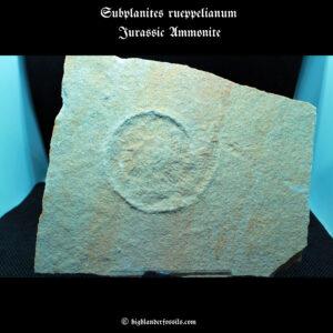 Subplanites rueppelianum Jurassic Ammonite