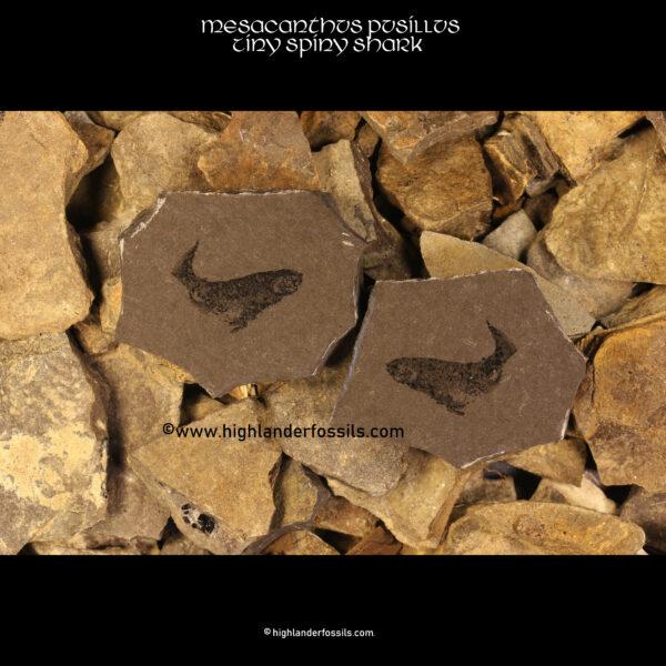 spiny shark fossil
