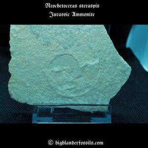 Neochetoceras steraspis jurassic ammonite fossil 1