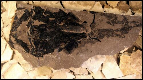 Coccosteus Fossils