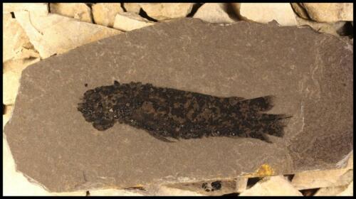 Dipterus fossils