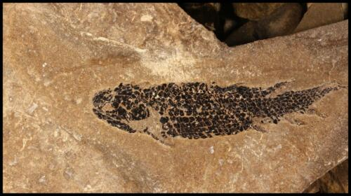 Osteolepis fossils